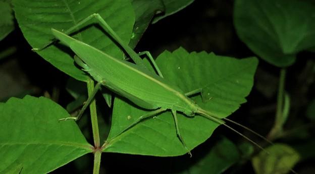 葉の上にいたセスジツユムシ - 5