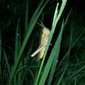 草のうえにとまるツチイナゴ - 1