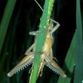 草のうえにとまるツチイナゴ - 4