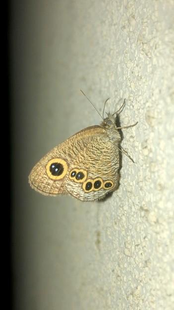 Photos: 壁にとまっていたヒメウラナミジャノメ - 1