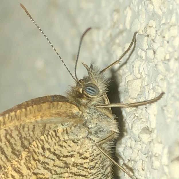 Photos: 壁にとまっていたヒメウラナミジャノメ - 4:縞模様の目!?