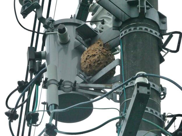 電信柱の上に作られてた大きなススメバチの巣 - 1
