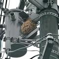 電信柱の上に作られてた大きなススメバチの巣 - 3