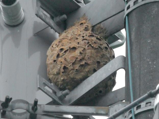 電信柱の上に作られてた大きなススメバチの巣 - 4