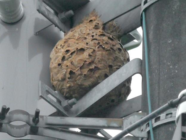 電信柱の上に作られてた大きなススメバチの巣 - 5