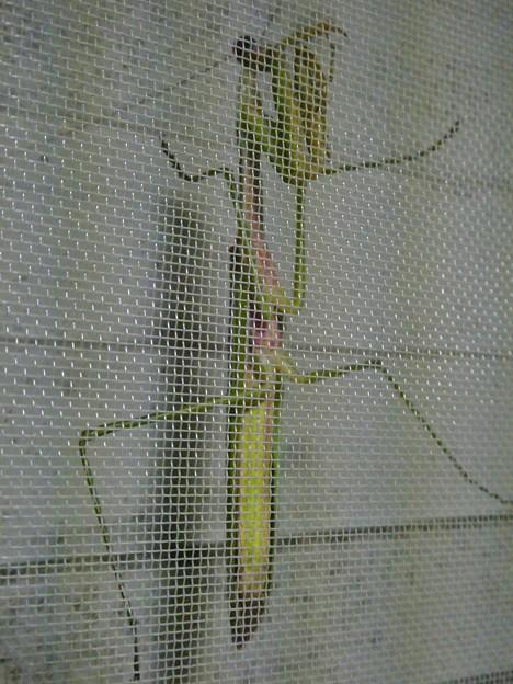 Photos: 網戸の上にいたカマキリ - 2