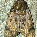 ヒョウ柄の様な模様のある蛾 - 1