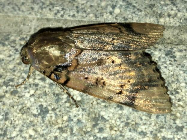Photos: ヒョウ柄の様な模様のある蛾 - 2