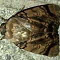 Photos: ヒョウ柄の様な模様のある蛾 - 3