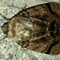 ヒョウ柄の様な模様のある蛾 - 4