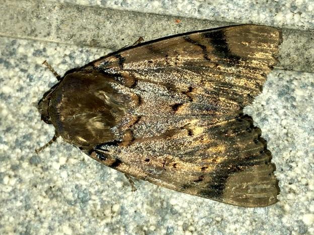 Photos: ヒョウ柄の様な模様のある蛾 - 5