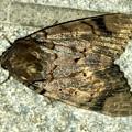 ヒョウ柄の様な模様のある蛾 - 5