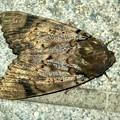 ヒョウ柄の様な模様のある蛾 - 7