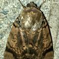 ヒョウ柄の様な模様のある蛾 - 9