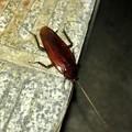 駐車場にいたゴキブリ - 1