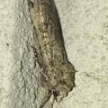 細長くまとまってた蛾 - 4