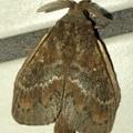 波縞模様のある茶色い小さな蛾 - 2