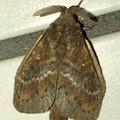 波縞模様のある茶色い小さな蛾 - 3