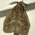 波縞模様のある茶色い小さな蛾 - 4