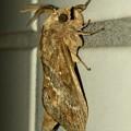 波縞模様のある茶色い小さな蛾 - 5