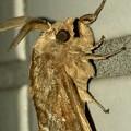 波縞模様のある茶色い小さな蛾 - 6