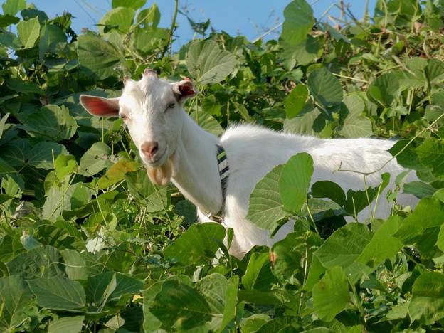 除草目的で放牧されてたヤギ - 2