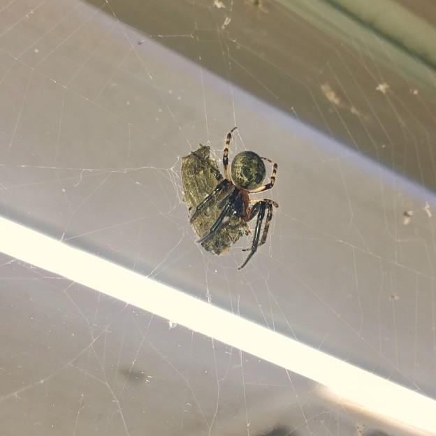 コンビニで蛾を捕まえてた蜘蛛 - 1