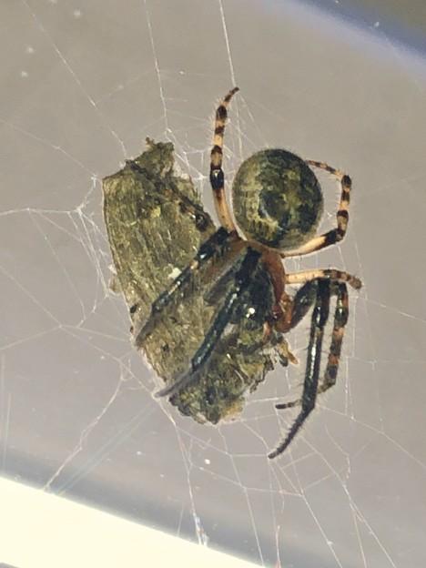 コンビニで蛾を捕まえてた蜘蛛 - 2