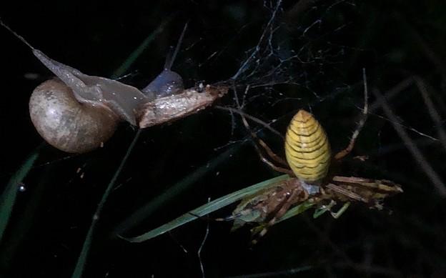 ナガコガネグモの巣に捕まっていた?あるいは巣の一部に使われた?カタツムリ - 6
