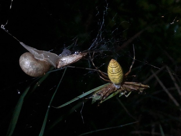ナガコガネグモの巣に捕まっていた?あるいは巣の一部に使われた?カタツムリ - 5