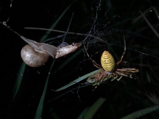 ナガコガネグモの巣に捕まっていた?あるいは巣の一部に使われた?カタツムリ - 4
