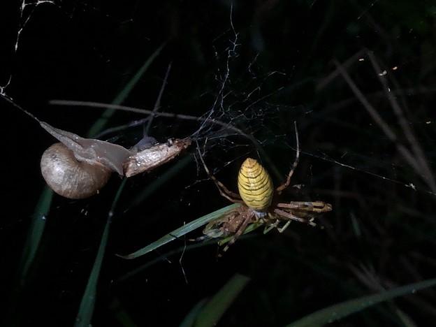 ナガコガネグモの巣に捕まっていた?あるいは巣の一部に使われた?カタツムリ - 3