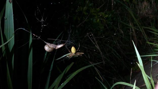 ナガコガネグモの巣に捕まっていた?あるいは巣の一部に使われた?カタツムリ - 2