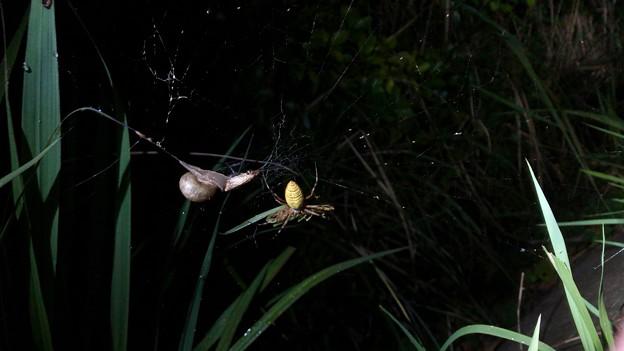 ナガコガネグモの巣に捕まっていた?あるいは巣の一部に使われた?カタツムリ - 1