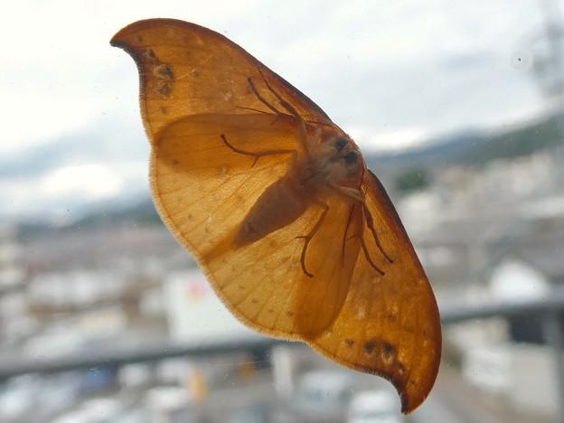 ガラスに張り付いてた蛾 - 2