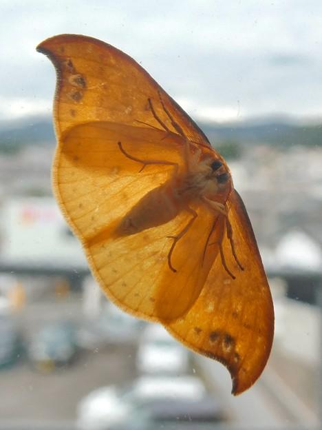 ガラスに張り付いてた蛾 - 4