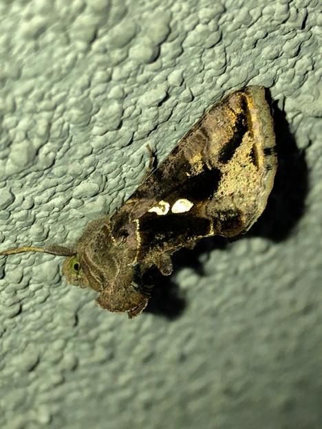 灯りを当てると体の一部が光った蛾
