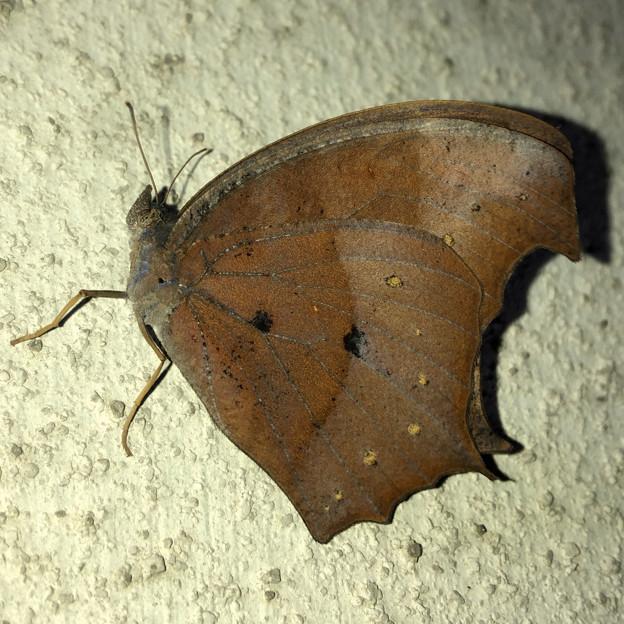 壁にとまる枯れ葉のような蝶(たぶんクロコノマチョウのメス) - 1