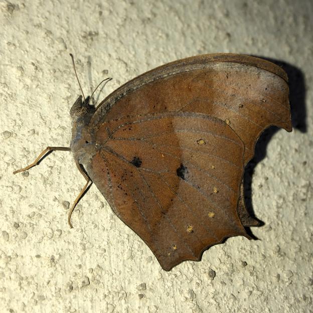 壁にとまる枯れ葉のような蝶(たぶんクロコノマチョウのメス) - 2
