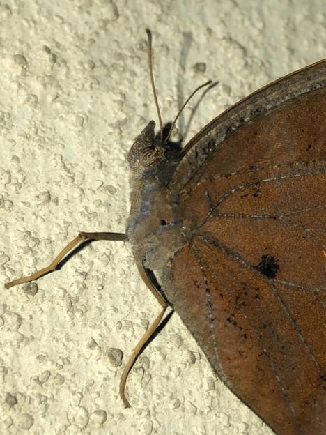 壁にとまる枯れ葉のような蝶(たぶんクロコノマチョウのメス) - 3