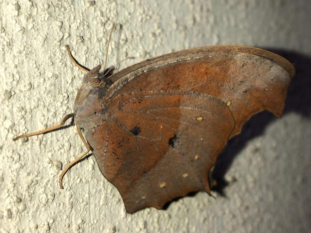 壁にとまる枯れ葉のような蝶(たぶんクロコノマチョウのメス) - 5