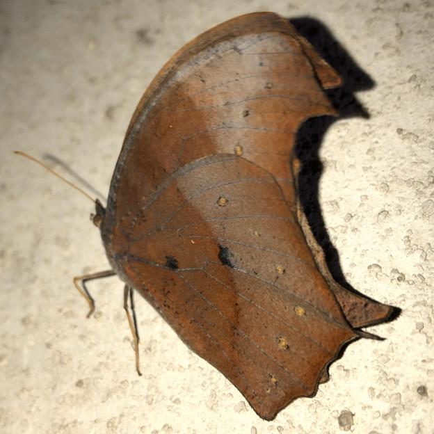 壁にとまる枯れ葉のような蝶(たぶんクロコノマチョウのメス) - 6