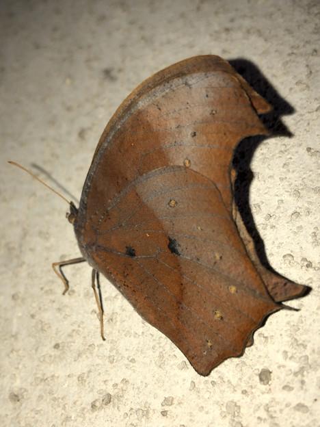 壁にとまる枯れ葉のような蝶(たぶんクロコノマチョウのメス) - 7