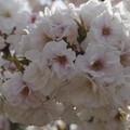 さくら・八重桜・紅葉