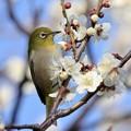 Photos: ウメジロー