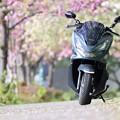 江北五色桜と