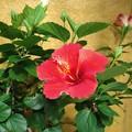 咲き続くハイビスカス