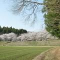 桜2021_03