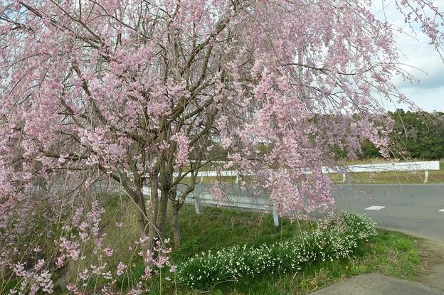 桜2021_06
