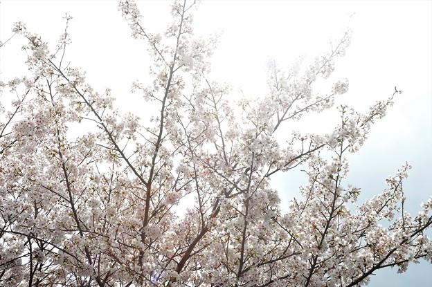桜2021_07